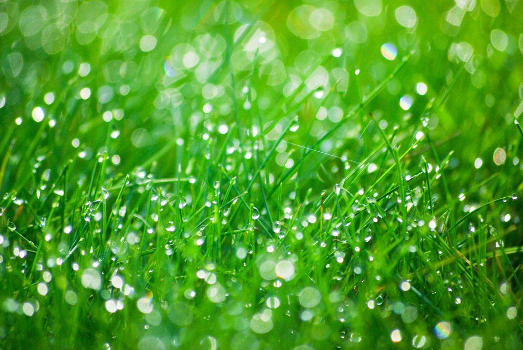 Распространенные газонные травы